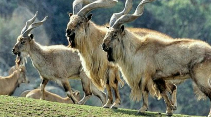 Chiltan Markhor at Hazarganji National Park - Tech Urdu
